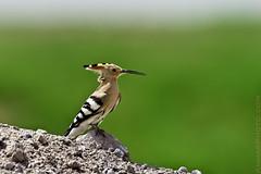 Hoopoe الهدهد (Ammar Alothman) Tags: bird nature birds animal animals canon gulf wildlife kuwait ammar hoopoe kuwaitcity kw 2010 q8 الكويت عمار alothman ammaralothman 3mmar عمارالعثمان kuwaitpictures kuwaitwildlife canonef500mmf4lisusm kuwaitiphotographer kuwaitphoto kuwaitphotos ammarphotos ammarq8 ammarphoto eos1dmarkiii 1dmarkiii eos1dmark3 ammarphotography kuwaitpic kuwaitpictrue whereiskuwait هدهد canon1dmarkiii canonmarkiii طيورالكويت canon1dmark3 kvwc upupaepos canonmark3 kuwaitvoluntaryworkcenter مركزالعملالتطوعي kuwaitvwc صورالكويت صورمنالكويت