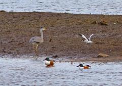 IMG_0614 Heron, Avocet & Shoveler, Brandon Marsh, Warwickshire 16Apr10 (Lathers) Tags: heron birds canon brandon 7d shoveler warwickshire avocet brandonmarsh canonef300f4lisusm canon7d wildinthemidlands 16apr10