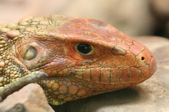 """Iguana head close • <a style=""""font-size:0.8em;"""" href=""""http://www.flickr.com/photos/30765416@N06/4529229852/"""" target=""""_blank"""">View on Flickr</a>"""
