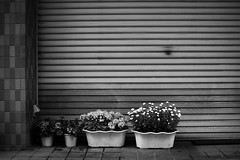 (frcsyk) Tags: flowers bw lines canon 50mm tokyo waves 14 sigma simple  5dmarkii
