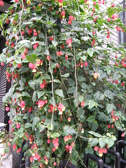 Abutilon megapotamicum (lika2009 (in the U.S.A.)) Tags: japan tokyo spring april abutilon 2010 megapotamicum