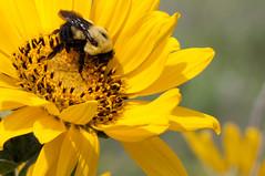 Bumbled Balsamroot (sanderee) Tags: bumblebee wildflower columbiagorge balsamroot rowenacrest tommccallpoint tommccallpreserve
