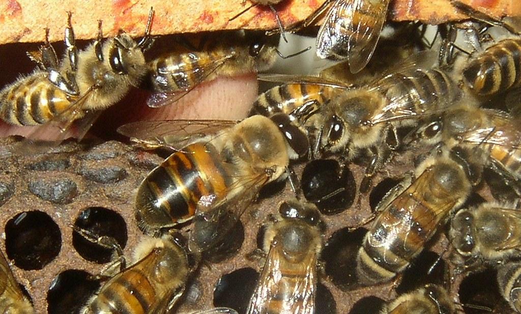 naissance bourdon abeille