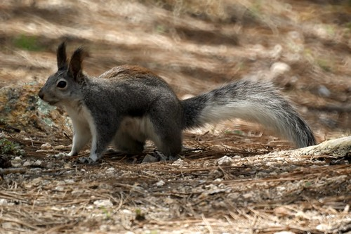 Abert's Squirrel aka Tassel-eared Squirrel