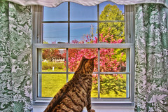 Look Out My Window (Samantha Decker) Tags: bw pet window cat photoshop canon eos rebel casey kitten feline curtain flash kitty wideangle adobe dslr polarizer ultrawide postprocess bounce strobe cpl uwa cs4 500d speedlite catcollection canonefs1022f3545usm digitalsinglelensreflex topazadjust samanthadecker t1i 270ex