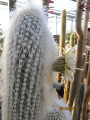 White cactus flower (wallygrom) Tags: cactus england cacti westsussex succulents angmering cactuscollection manornursery