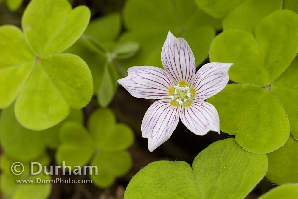 Redwood sorrel (oxalis oregana)