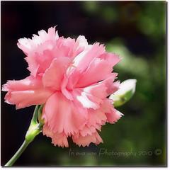 Cos semplice (in eva vae) Tags: pink flower macro green canon eos rebel petals friend kiss blossom bokeh bud easy geranium simple pure squared x3 500d semplice abigfave eos500d t1i eosrebelt1i inevavae