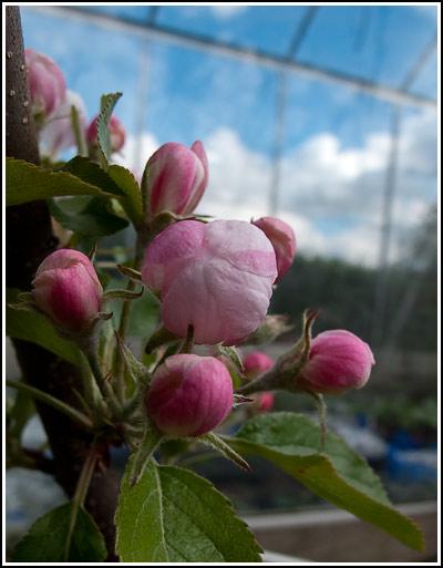 gala apple2