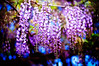 from above (moaan) Tags: life flower color digital 50mm spring flora dof purple bokeh violet vine tint f10 trellis lilac utata bloom flowering noctilux hue wisteria 2010 blooming inbloom lightpurple rd1s inlife epsonrd1s leicanoctilux50mmf10 darklilac gettyimagesjapanq1 gettyimagesjapanq2
