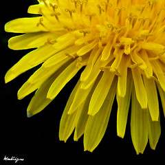 Dandelion - Pissenlit (monteregina) Tags: flowers plants canada abstract macro nature yellow closeup fleurs jaune petals spring weeds flora heart natural patterns centre details natur shapes curls center coeur dandelion seeds stamens explore textures gelb qubec designs wildflowers pollen plantae printemps plantes flore frhling boucles flowerhead pissenlit onblack abstrait dientedelen lwenzahn dentdelion herbes iamcanadian ptales fleurssauvages dtails formes tamines curlypetals fillframe taraxacumofficinalis mauvaisesherbes monteregina astraces rayflowers composes tinysteamen