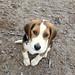 Max C. The Cutie Pie Beagle Puppy