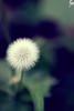 Dandelion  ҉/ ... Explore