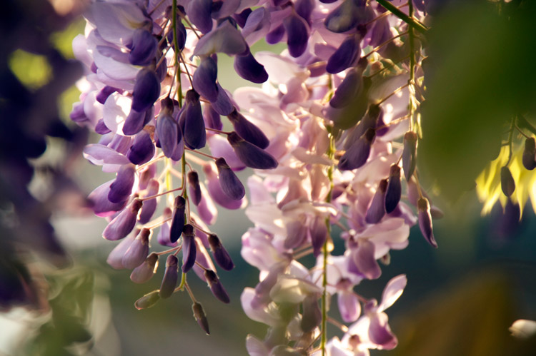 purpleflowers7