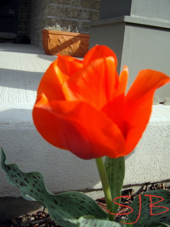 MORE TULIPS 5