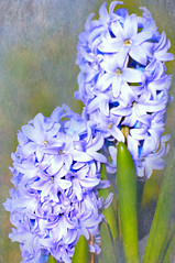 Two Blue (floralgal) Tags: flowers texture nature blossoms buds blooms hyacinth texturedflowers bluehyacith