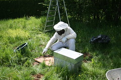 Essaimage : Installation de la ruchette (Ong-Mat) Tags: insect cell super bee abelha honey miel abeja hive beehive bi abeille bij abeilles insecte entomologie biene entomology ruche apis mellifera honigbiene zoologie honingbij apiculture hausse rucher honungsbi framesofhoneycomb