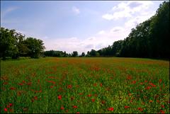 Les coquelicots du Tourel (84) (M'sieur Sub !) Tags: fleurs champ vaucluse coquelicots pertuis tourel