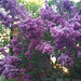 """lilacs in the morning • <a style=""""font-size:0.8em;"""" href=""""http://www.flickr.com/photos/70272381@N00/4612290977/"""" target=""""_blank"""">View on Flickr</a>"""