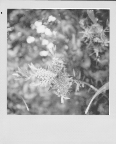 Bottlebrush Plant (b&w conversion)