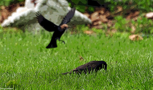 common grackle flight. DSC_2618_1_72 - Common Grackle