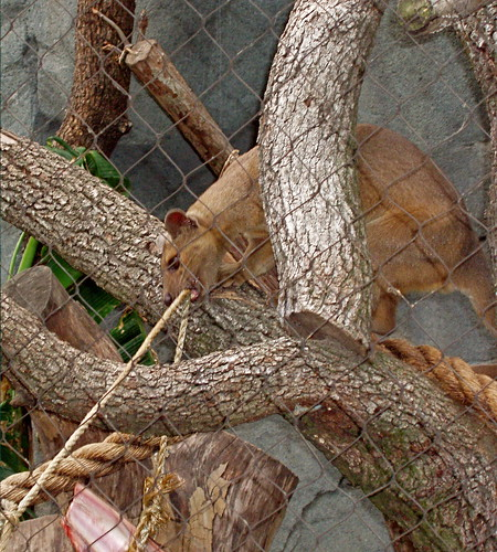 Fossa Female