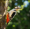 Great Spotted Woodpecker (mike turtle) Tags: bird wales woodpecker carmarthenshire greatspottedwoodpecker explorefp 70200g sonya550