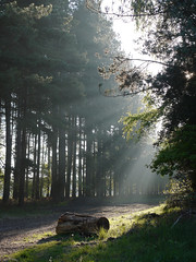 Sunrays (yvonnepay615) Tags: uk morning trees nature woodland lumix woods forestry postcard norfolk panasonic g1 sunrays eastanglia 1445mm platinumheartaward esenciadelanaturaleza