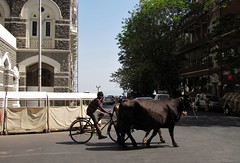 Taj Mahal Hotel Cattle Crossing