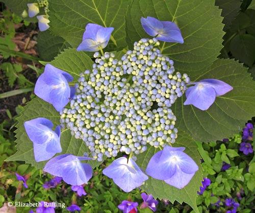 Blue lace-cap hydrangea