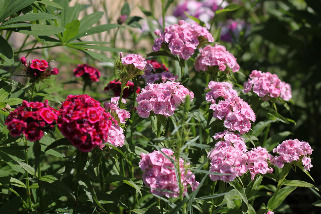 sweet william 319x