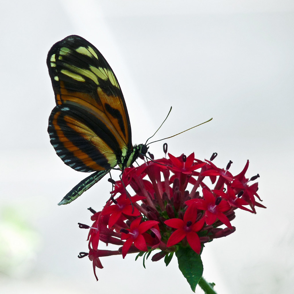 Heliconius ismenius telchina on Egyptian Stars