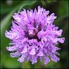 20100523_12712-01.jpg (dr_knox) Tags: pink orchid flower orchidee pfingsten2010 wipperdurchbruch