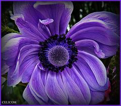 (celicom) Tags: naturaleza macro azul flor excellentsflowers