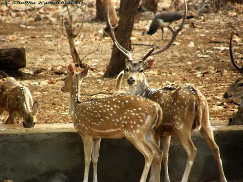 Gir Forest - deers 1