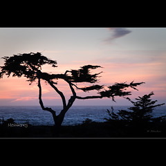 Sunset pine - Monterey - CA *Explore* (Dominique Palombieri) Tags: california sunset sea usa tree monterey explore dominique 2010 100iso fav10 103mm canoneos7d lens50150mm 115secatf80 palombieri mygallery1