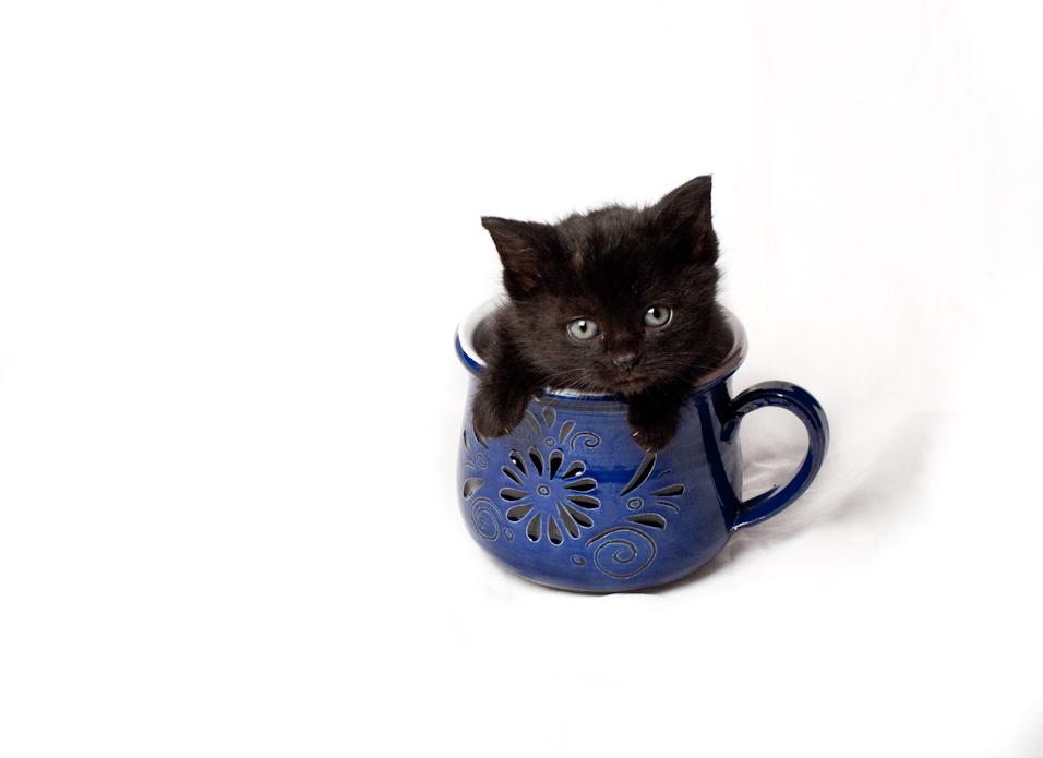 Teacup Kitten III