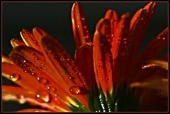 april showers, bring may flowers. (mrocki1) Tags: flowers macro masterphotos macrolife