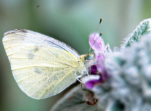 Cabbage White on Lambs Ear