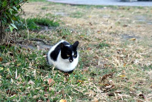 台東黑白貓