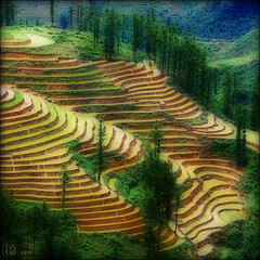 Rice paddies Dream land (NaPix -- (Time out)) Tags: trees food black mountains green water pine work landscape rice paddy magic ngc farming north working vietnam npc sapa hmong paddies ortoneffect muonghoavalley napix liensonmountainrange 1600mabovesealevel