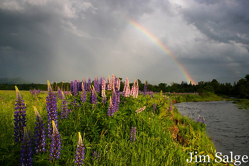 Rainbow Over Lupines - Second Rate...