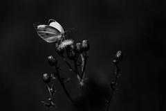 Butterfly in black and white (Effe.Effe) Tags: bw monochrome butterfly bn papillon borboleta pentacon mariposa manualfocus farfalla schmetterling vintagelens pentacon135mmf28