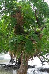 Tropical tree, Romblon, Philippines (The Three P Holiday & Dive Resort (Ducks) Romblon) Tags: fern tree island philippines insel tropical farn pilipinas philippinen philippine romblon tropisch baumfarn