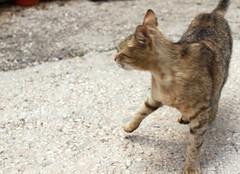 חתולה (Khatula)