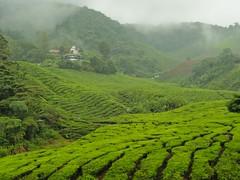 Bow tea Plantation