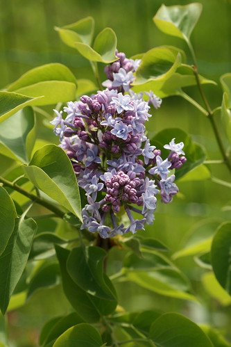 Katherine Havemeyer - harilik sirel / syringa vulgaris / common lilac