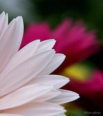 petali (Felice Cirulli) Tags: flowers red white primavera spring colours bokeh fiori rosso petali colori felice bianco felixe