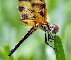 Profile view (ChinaLeft) Tags: macro nature dragonflies dragonfly insects bugs pennants halloweenpennant