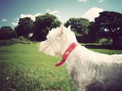 Admiring (danielleyc) Tags: summer nature sunshine countryside walk westie sunny lancashire walkies colne canonixus95is danielleyc
